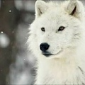 The_White-Wolf
