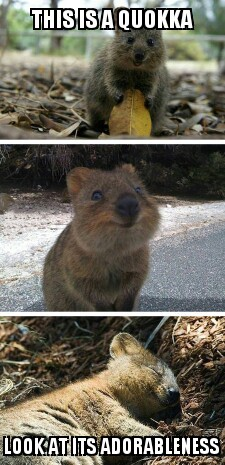 Memedroid - Images tagged as 'quokka' - Page 1