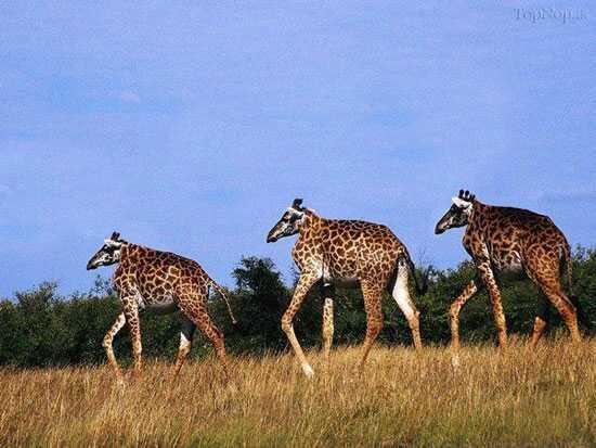 giraffes without neck ogw meme by justarandomuser memedroid
