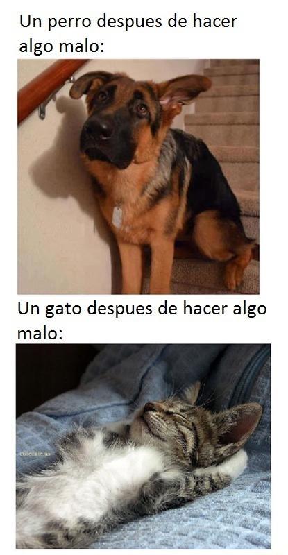 gatos - meme