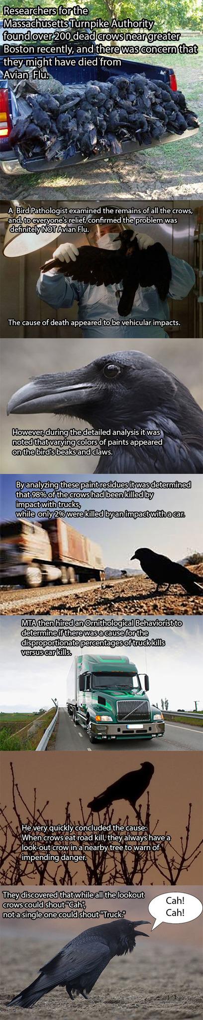 crow murder - meme