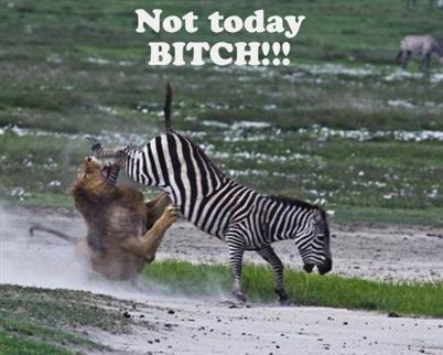 Awesome zebra - meme