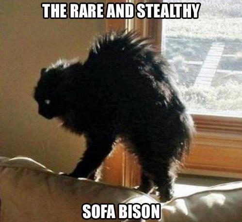 Sofa Bison - meme
