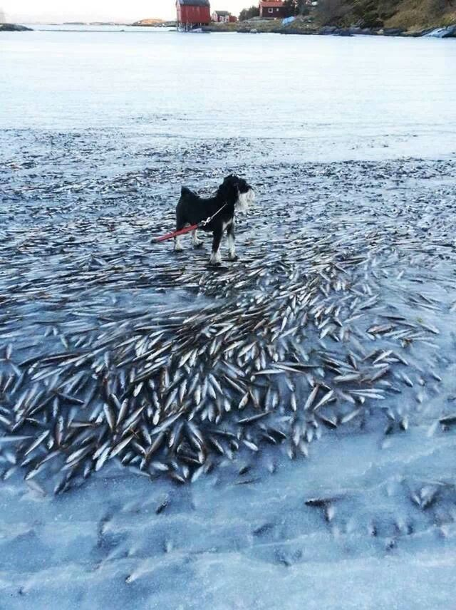 In Lovlund, Norway, the ice froze so fast thousands of fish got caught in the ice and died!!! - meme