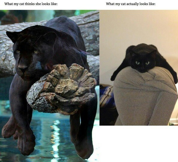 my cat... - meme