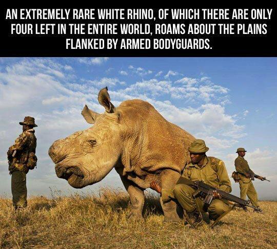 the white rhino boobs.... - Meme by ilredibello460 :) Memedroid