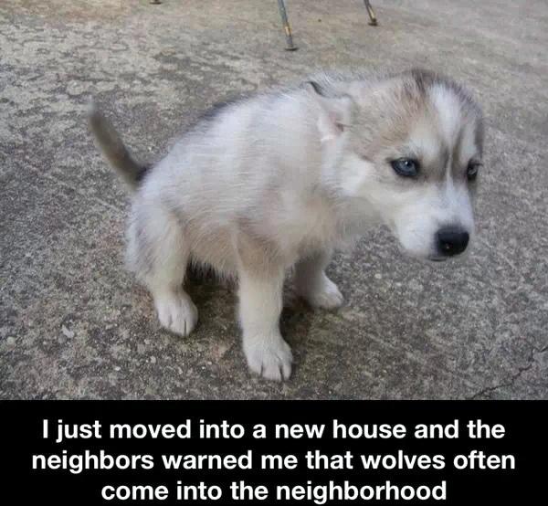 Neighborhood Wolves - meme