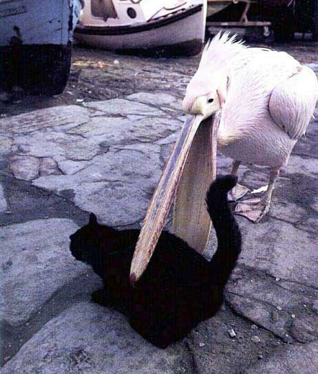 Pelican wants to eat this cat.... - meme