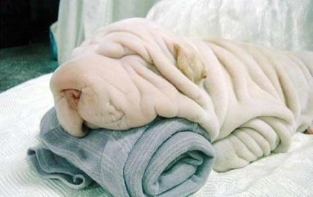 towel dog - meme