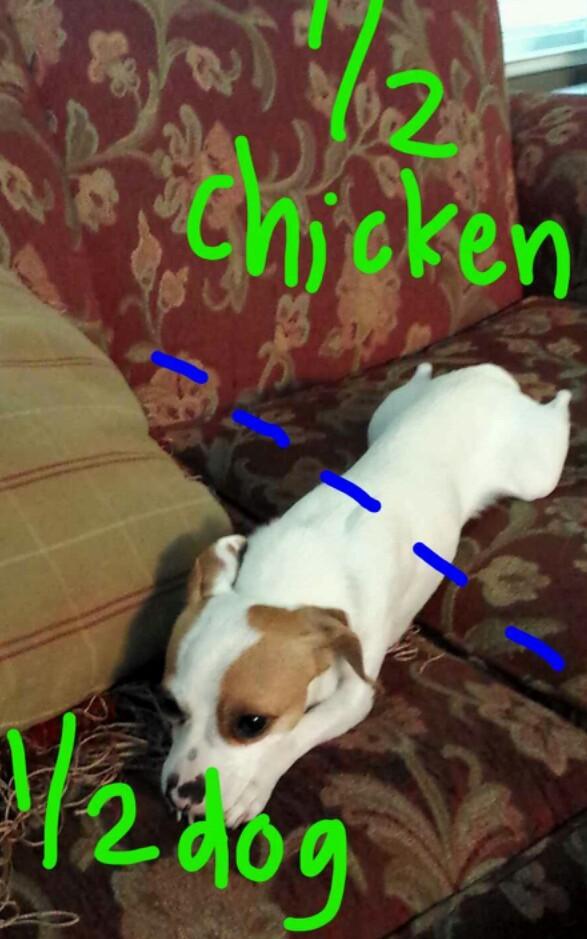 chicken dog - meme