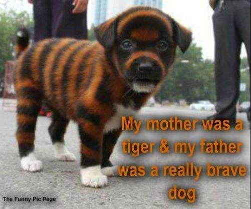 Tigerdog - meme