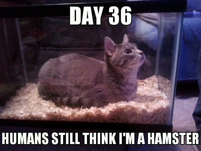 hamster cat - meme